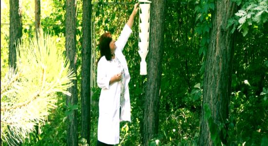 Харківські мурахожуки - єдина надія в порятунку хвойних лісів України