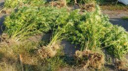 На Закарпатті поліція виявила плантацію коноплі