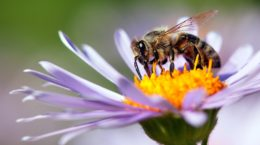 Зоологи виявили бджолу від двох батьків, але без матері
