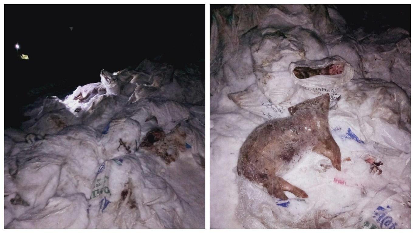 У Харкові знайшли 30 викинутих туш свиней з ДНК-вірусом африканської чуми #кримінальніНовини, #новиниХаркова, #ХарківNews, ДНК-вірус африканської чуми, свині, топ новина